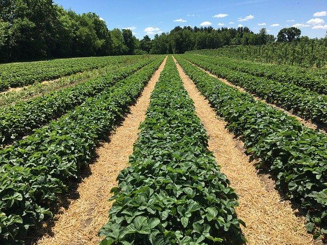 strawberry-bushes-2241401_640